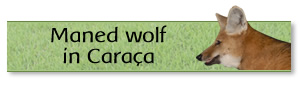 Maned wolf in Caraça